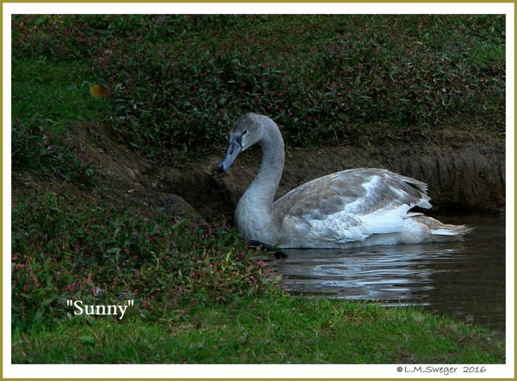 Mute Swan Cygnet Sunny