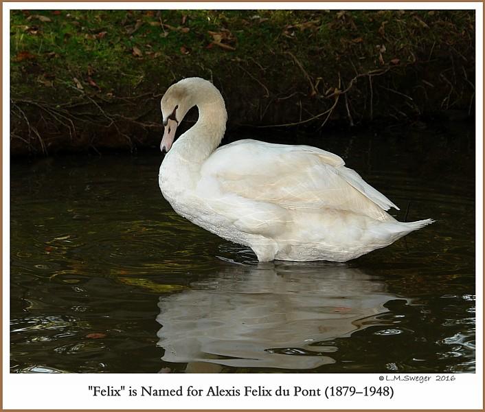 Male Mute Swan Cygnet Felix