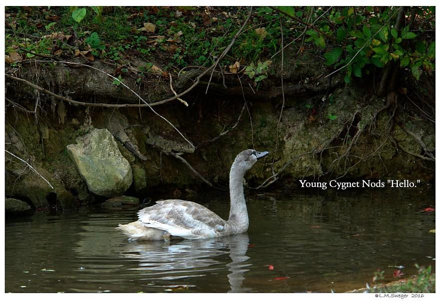 Swan Cygnet Hello