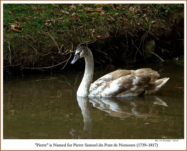 Male Mute Swan Cygnet Pierre