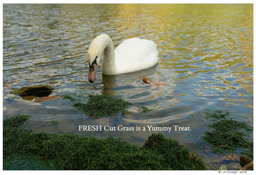 Swan Fresh Grass Captive Mute Swans Feeding Swans