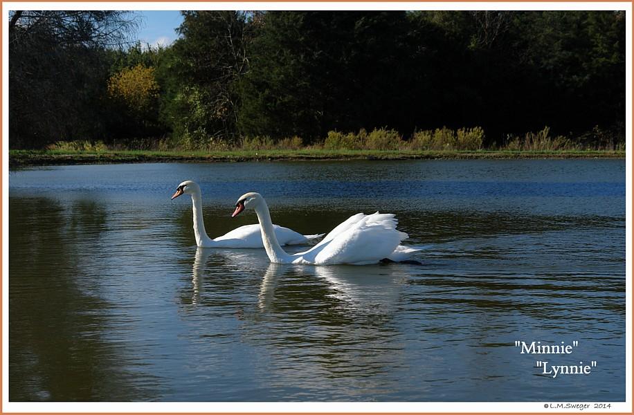 Mute Swans  Minnie Lynnie