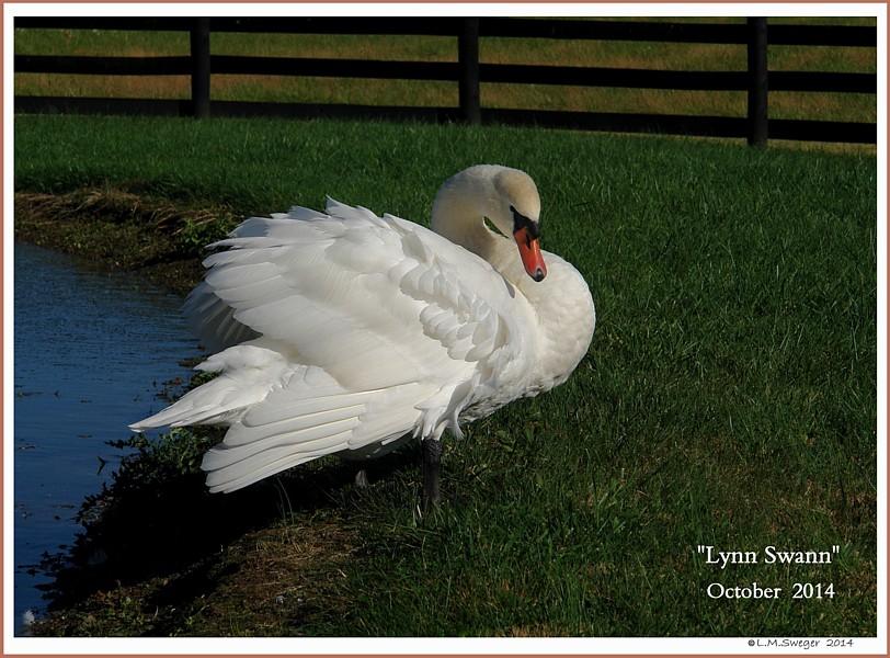 Male Swan Lynn Swann