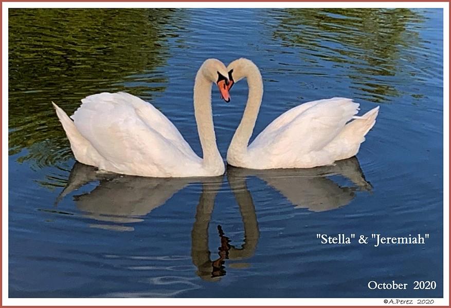 Mute Swans Courting Stella   Jeremiah
