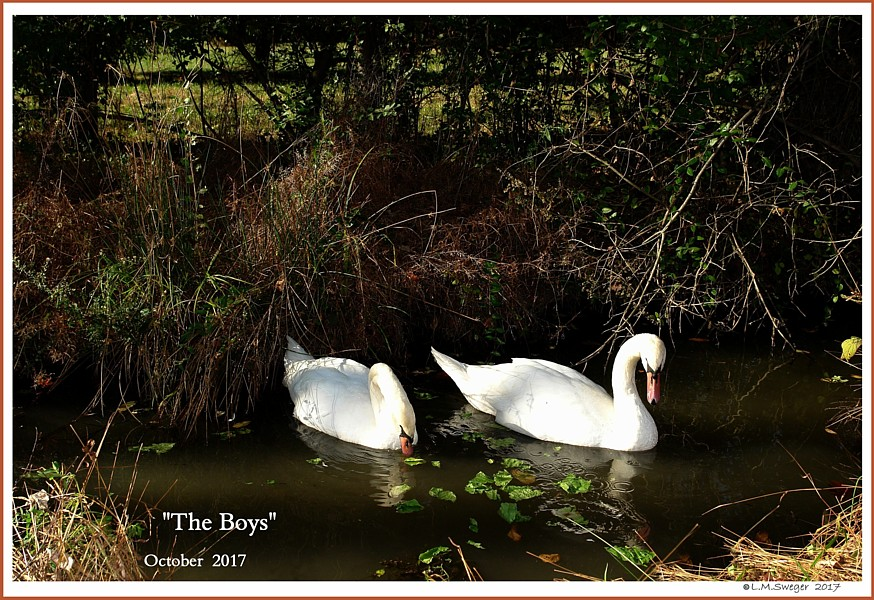 Male Mute Swans the Boys