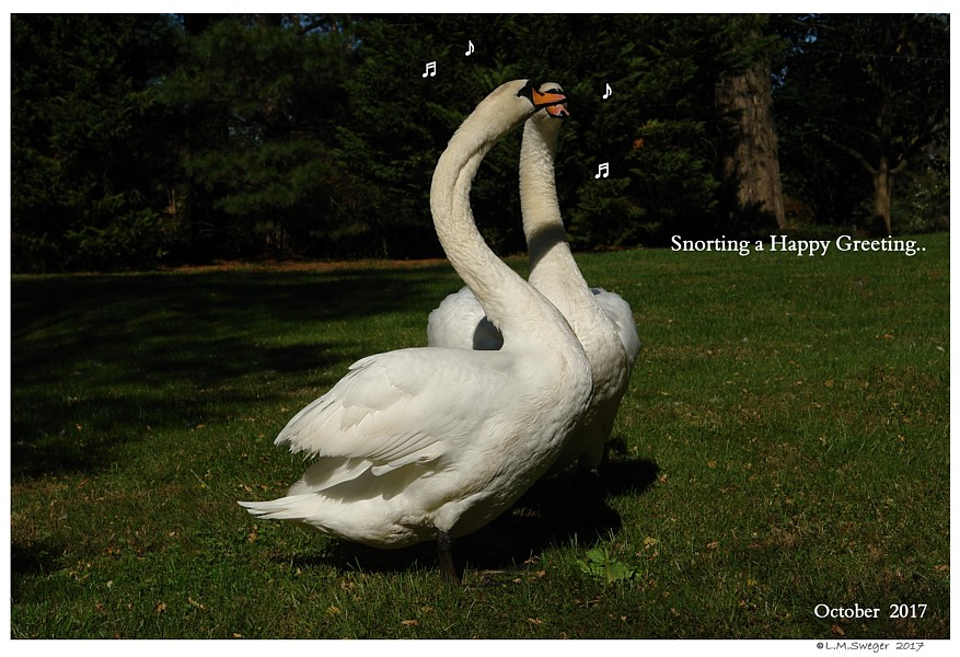 Happy Swan Greeting