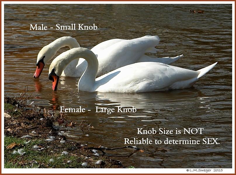Swans DNA-Sex Testing