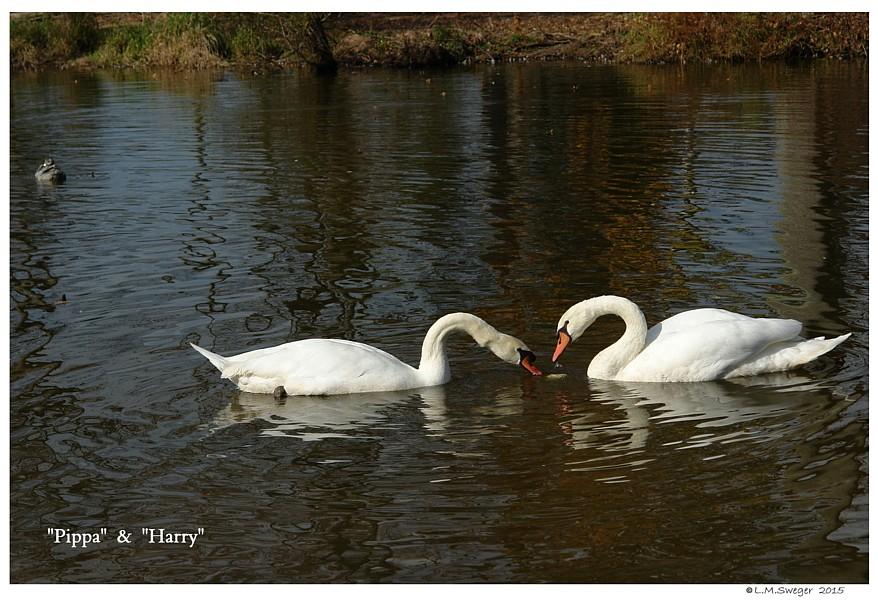 Swans Lettuce Play