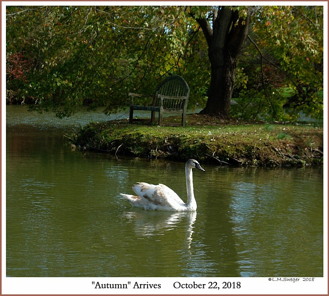 Female Mute Swan Cygnet Autumn