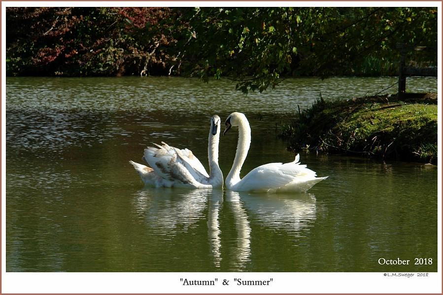 Female Mute Swans  Autumn Summer