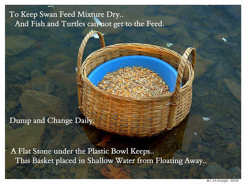 Bowl For Swan Feed Captive Mute Swans Feeding Swans