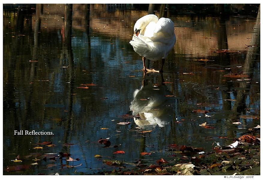 Lone Mute Swan Preening