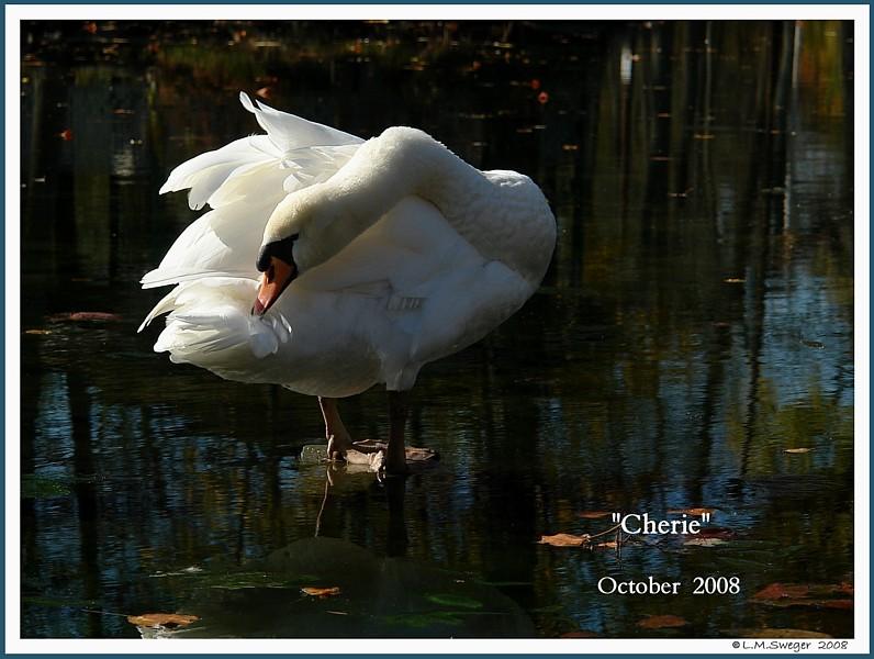 Female Mute Swan Pen