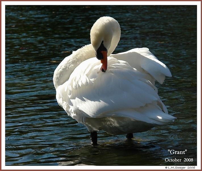 Mature Mute Swan Cob