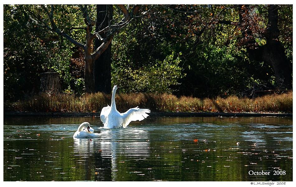 102608l-wmgrove-swans-98bd4-6005bftxt