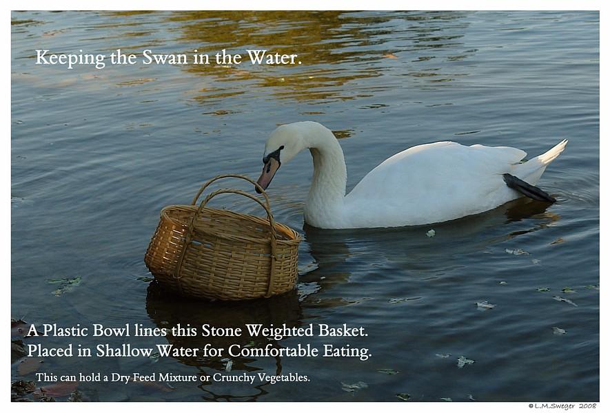 Feed Swan in Water Captive Mute Swans Feeding Swans