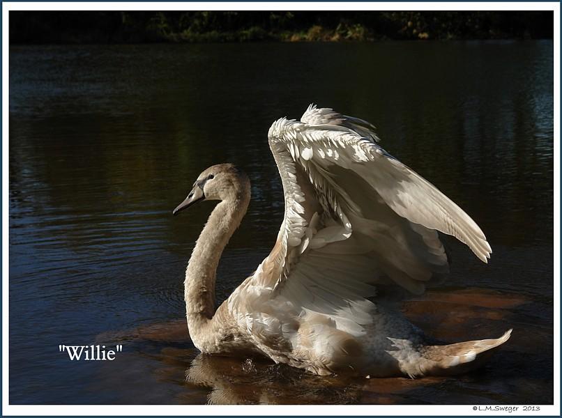 Mute Swan Cygnet Willie