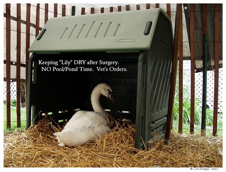 Surgical Pinion Swan