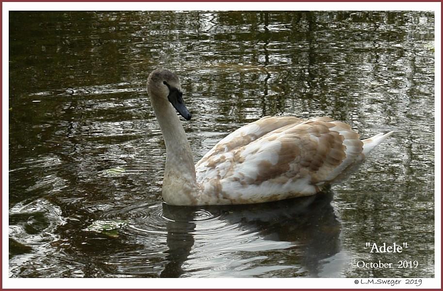 Female Mute Swan Cygnet