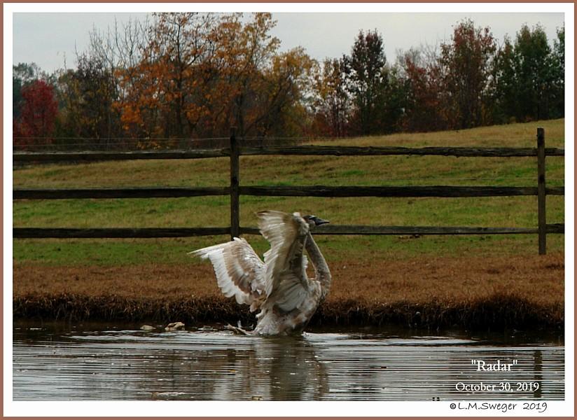 Male Mute Swan Cygnet Radar