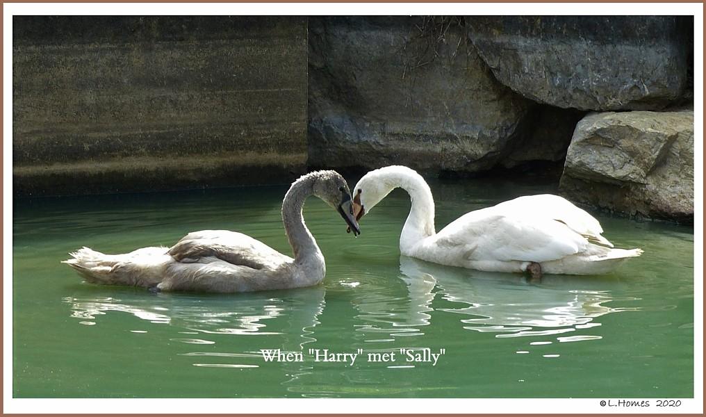 When Harry met Sally Mute Swans