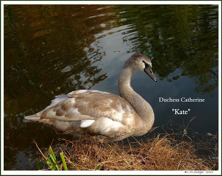Mute Swan Cygnet Kate