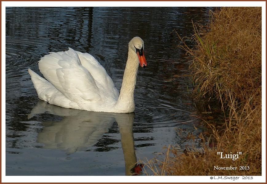 Male Mute Swan Luigi