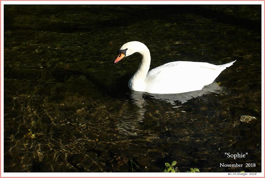 Female Mute Swan Sophie