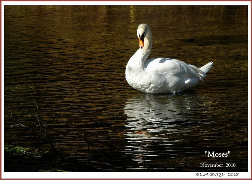 Male Mute Swan Moses