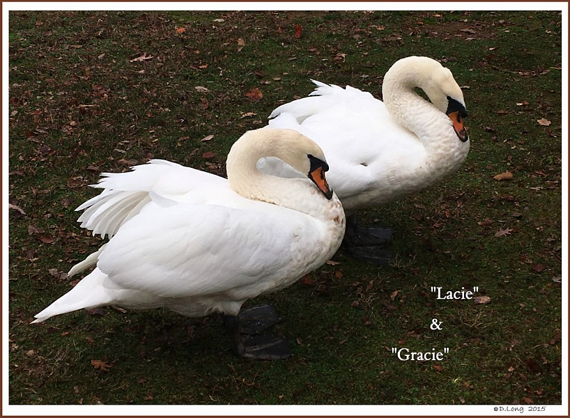 Female Mute Swans  Gracie  Lacie