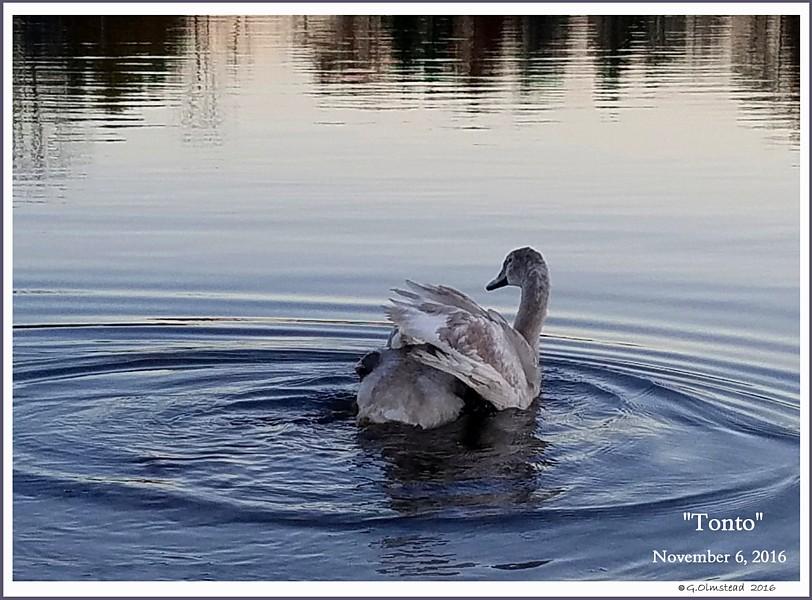 Swan Cygnet Tonto