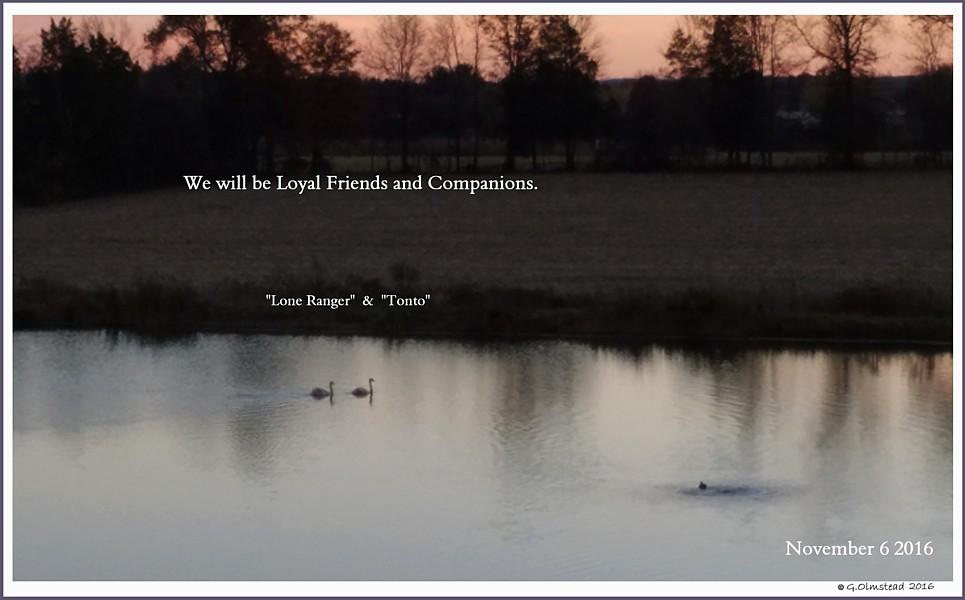 Male Mute Swan Cygnets  Lone Ranger   Tonto