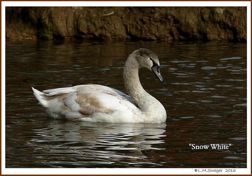 Mute Swan Cygnet Snow White