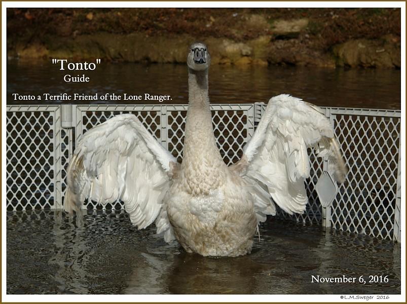 Mute Swan Cygnet Tonto