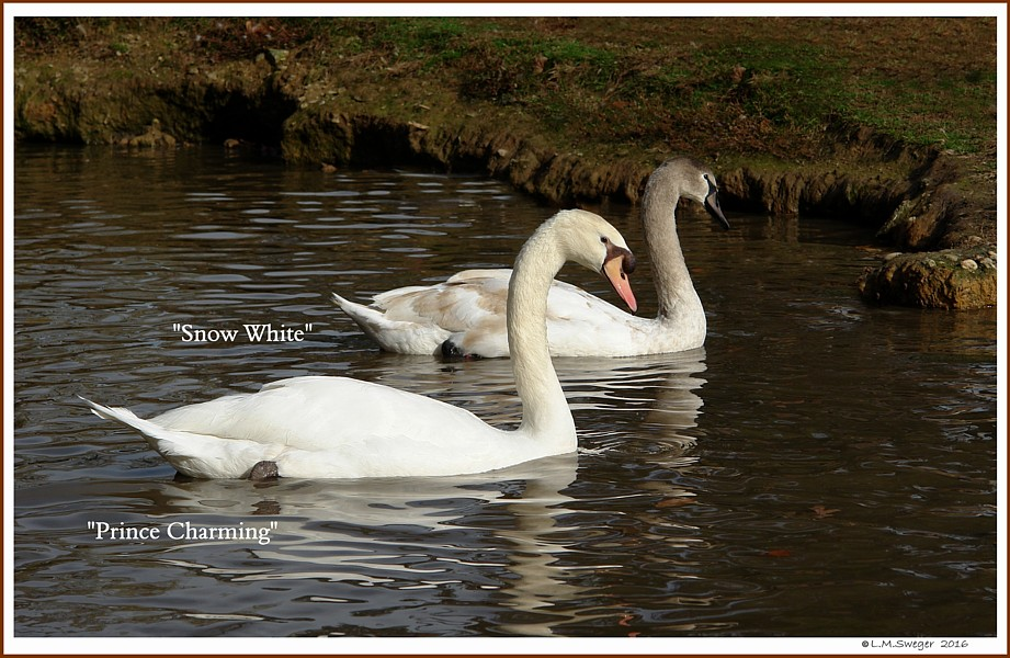 Young Mute Swans  Snow White  Prince Charming