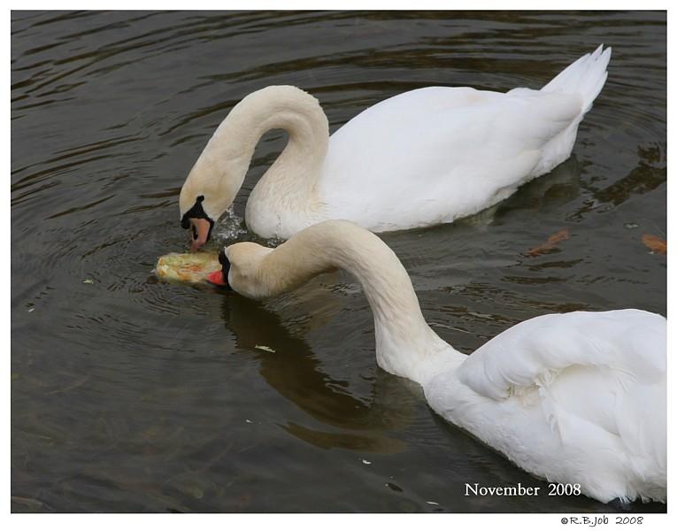 Swans Lettuce