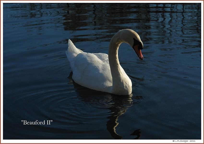 Mute Swan Beauford II