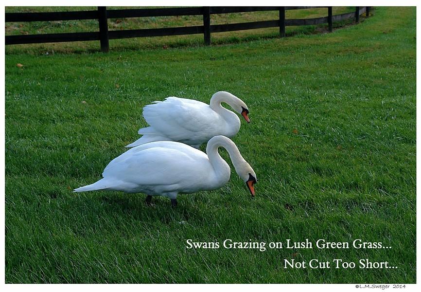 Longer Grazing Grass   Swan Under Tongue Chin Impaction