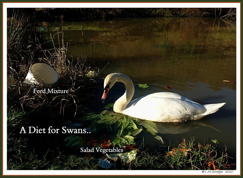 Swan Diet Captive Mute Swans Feeding Swans