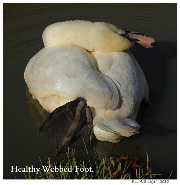 Healthy Webbed Swan Foot
