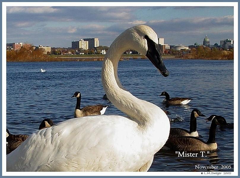 Trumpeter Swan Mr. T