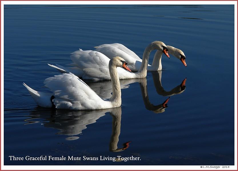 Female Mute Swans  Faith Hope Charity