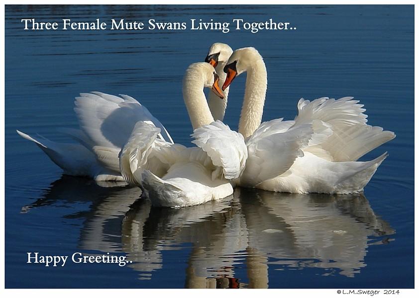 Swans Happy Greeting