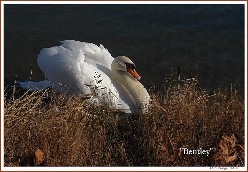 Mute Swan Bentley