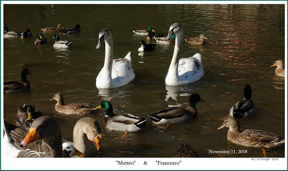 Male Mute Swan Cygnets  Matteo  Francesco