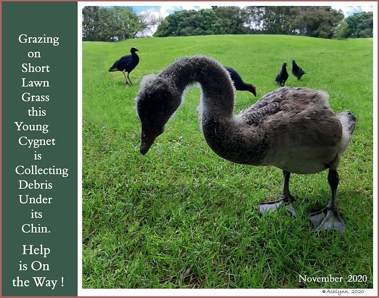 Black Australian Cygnet  Swan Under Chin-Tongue Bulge Impaction