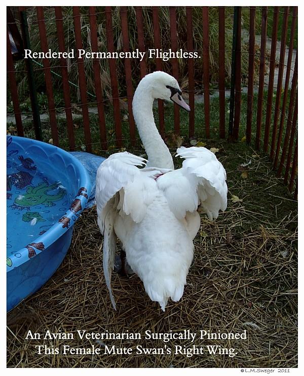 Mute Swan Status