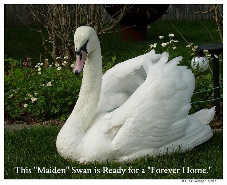 Mute Swan Maiden