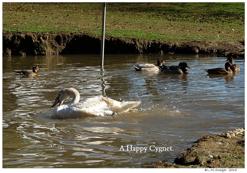 Mute Swan Bath