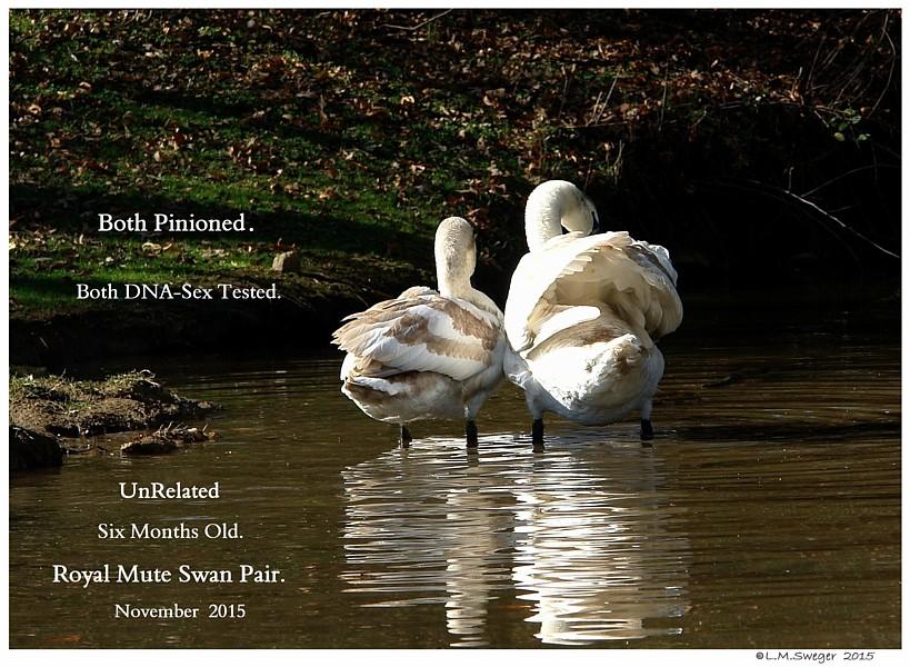 DNA Sex Tested Cygnets Swans DNA-Sex Testing